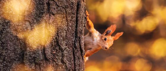 Fototapeta Squirrel in the autumn park. Red gray pet portrait close up obraz