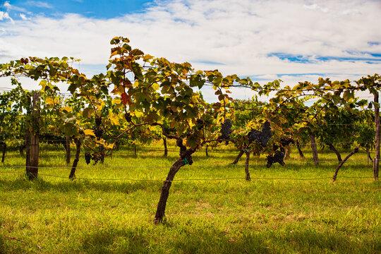 View of italian vineyard in the Trieste Karst
