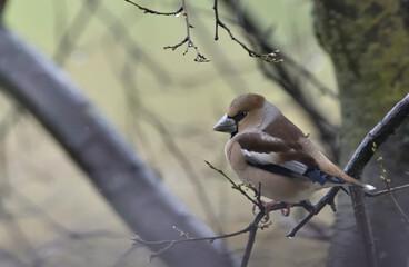 Fototapeta hawfinch perched on a branch obraz