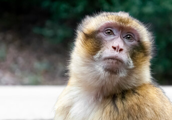Close-up of a free-ranging macaque monkey with soft background blur