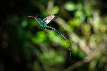 Fototapeta premium Red-billed streamertail hummingbird - Jamaica