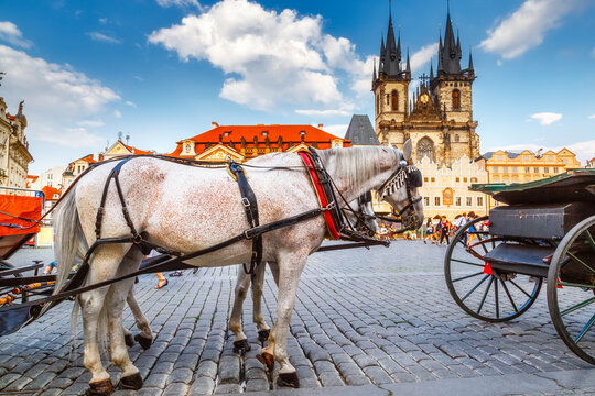 Beautiful team of white horses with carriage at market square in Prague at background of cathedral. Classical iconic view of Prague, Czech Republic, Europe.
