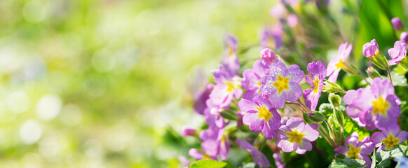 Fototapeta Spring flowers, bunch of purple primrose or primula in a garden obraz