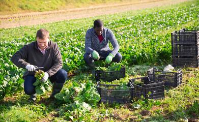 Fototapeta Men gardeners during harvestung of fresh spinach, working in garden outdoor obraz