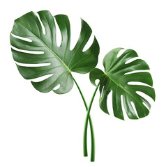 Monstera leaf, tropical evergreen plant isolated on white background