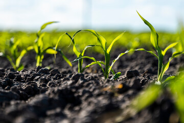 Fototapeta Growing young green corn seedling sprouts in cultivated agricultural farm field, shallow depth of field. Agricultural scene with corn's sprouts in earth closeup. obraz