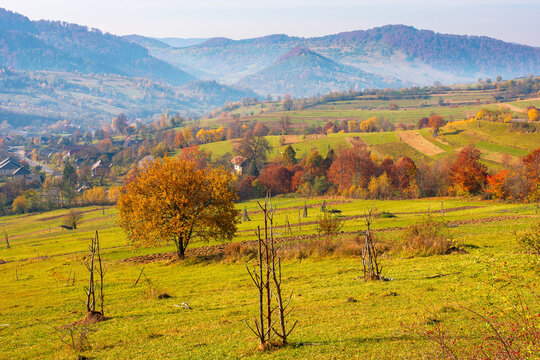trees in colorful foliage on the rural fields. beautiful countryside landscape with grassy rolling hills of carpathian mountains in autumn. hazy atmosphere in the distant valley