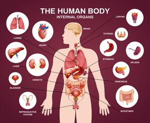 Fototapeta Internal Human Organs Silhouette Composition obraz