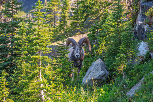 Ram in the Forest on the Highline Trail, Glacier National Park, Montana