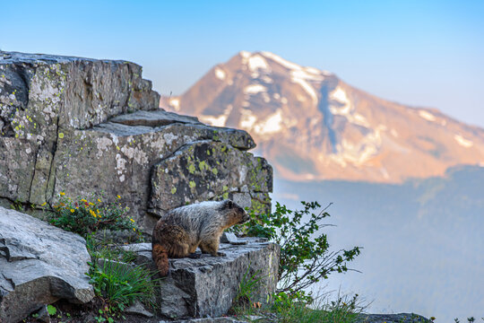Marmot on a Scenic Rocky Ledge, Glacier National Park, Montana