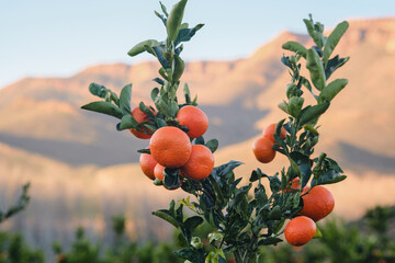 Fruit tree laden with ripe mandarin oranges with mountain background in evening light.