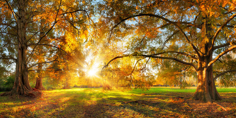 Fototapeta Beautiful large trees with colorful leaves in a park in autumn, with the sun shining through the foliage into the camera  obraz