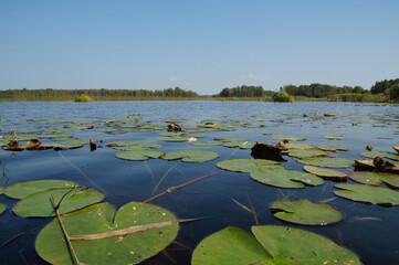 Fototapeta Rośliny wodne na błękitnym jeziorze obraz