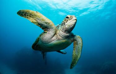Fototapeta Swimming sea turtle in the ocean, photo taken under water at the Great Barrier Reef, Cairns, Queensland Australia obraz