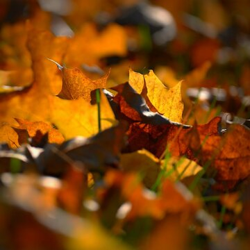 Autumn background. Beautiful colorful leaves in nature with the sun. Seasonal concept outdoors in autumn park.