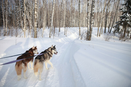 Siberian husky couple on a walk in the forest. Love for pets