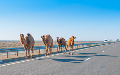 Camels are on the road heat, drought, United Arab Emirates