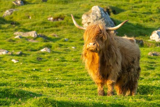 Highland rustic cattle on the grass fields of the village of Kirkjubøur, Streymoy Island, Faroe Islands