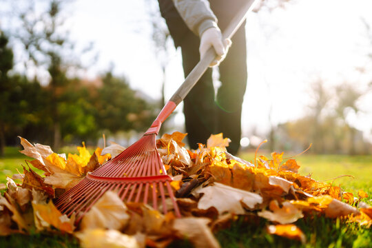 Rake with fallen leaves in the park. Janitor cleans leaves in autumn. Volunteering, cleaning, and ecology concept.
