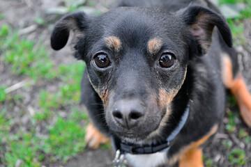 Fototapeta psie oczy, czarny, smutny pies obraz