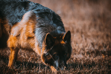 Fototapeta owczarek niemiecki węszący w trawie obraz