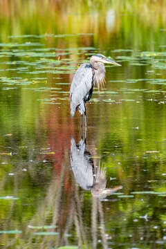 Great blue heron standing in calm pond water with water lilies