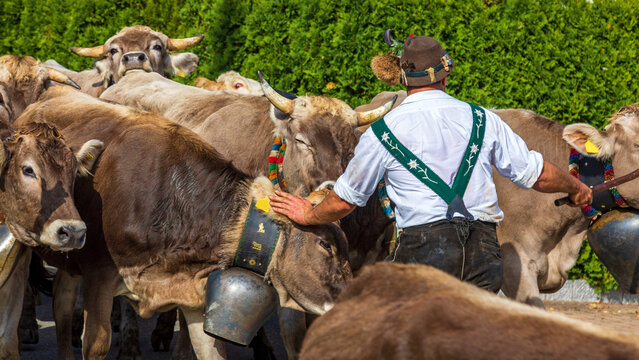 Viehscheid - Allgäu - Kühe - Hirte - Almabtrieb - Alpabtrieb