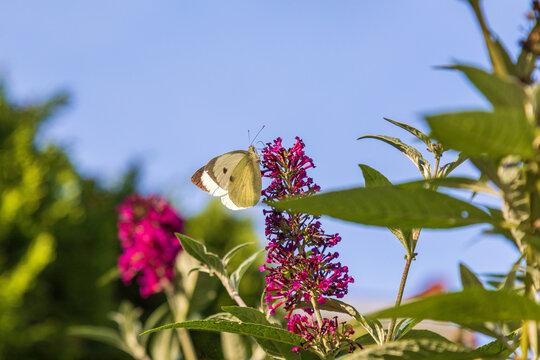 Großer Kohlweißling - Falter - Schmetterling - Pieris brassicae