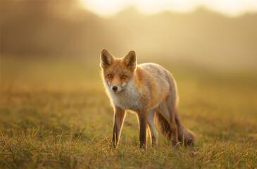 Fototapeta premium Close up of a red fox in the evening light
