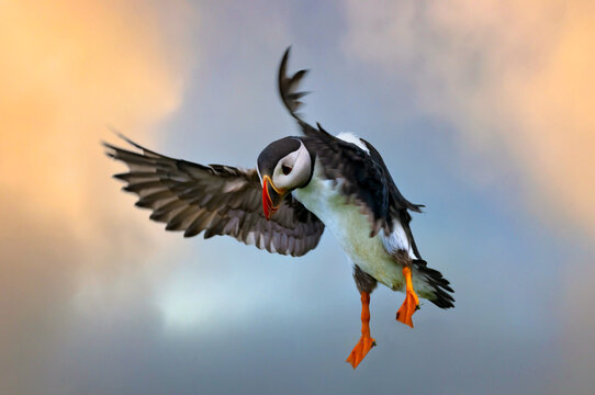 Stunning shots of Atlantic puffins in flight landing on and taking off from  the cliffs of the Mykines Island, Faroe Islands