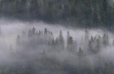 Fototapeta Mglisty poranek w lesie obraz
