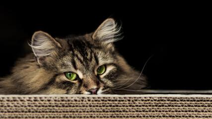 Fototapeta Kot i jego drapak  obraz