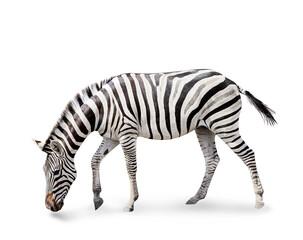 Fototapeta premium Burchell's zebra isolated on white