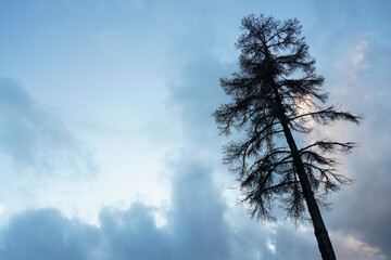 Obraz silhouette of lonely tree of a bizarre shape against background of blue  sky  background. one  larch tree - fototapety do salonu