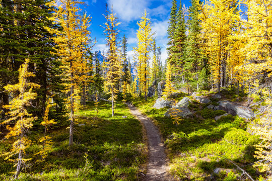 Scenic Hiking Trail in the woods with Yellow Larches Trees and Canadian Rocky Mountains in Background. Sunny Fall Day. Located in Lake O'Hara, Yoho National Park, British Columbia, Canada.