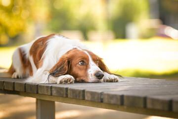 Fototapeta kooikerhondje is lying on the bench. He is so cute dog. obraz