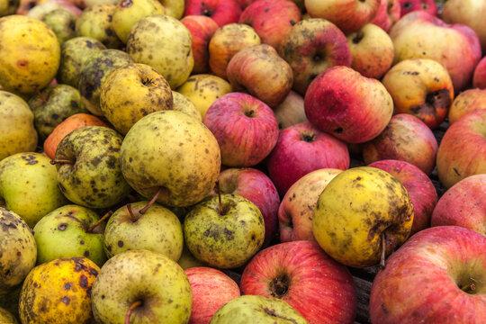 Allassac (Corrèze, France) - Pommes bio colorées sans traitement