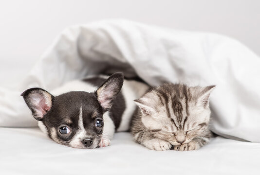 Cozy Chihuahua puppy and tabby kitten sleep together under white warm blanket on a bed at home