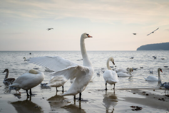 A flock of swans on the seashore are standing on the sand before sunset