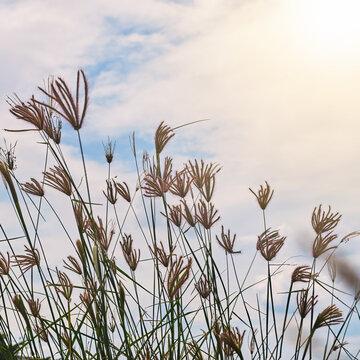flower field, meadow wild vintage dandelion in summer nature morning grass beauty garden light