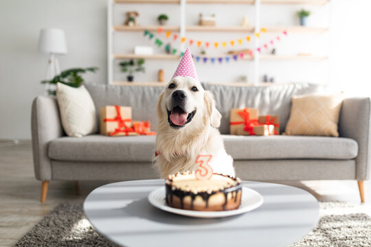 Golden retriever in festive hat having birthday, sitting in front of b-day cake with candle, celebrating holiday at home