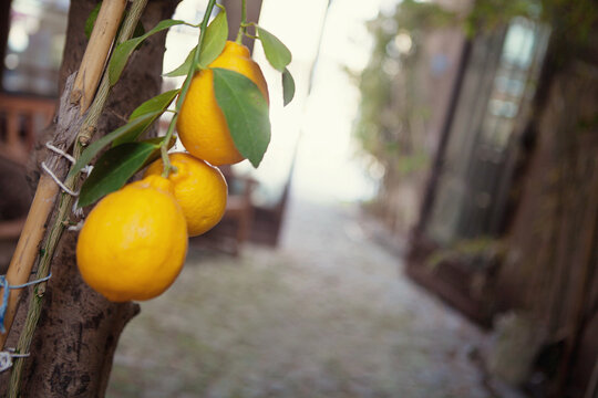 Close-Up of three lemons growing on a tree, Turkey