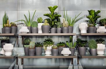 Fototapeta Assorted succulents in monochromatic grey flowerpots on shelves obraz