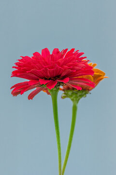 Red zinnia flower blooming in garden with neutral background