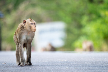 Natural monkey on the road.