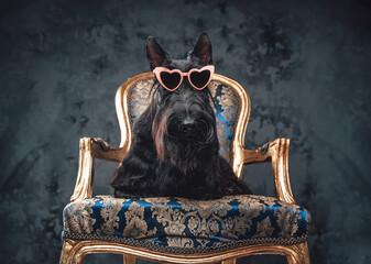 Stylish black dog sitting on golden luxurious armchair
