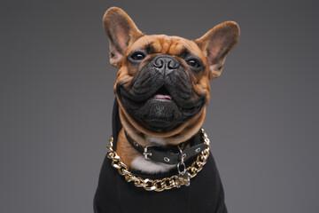 Joyful bulldog dressed in black sweater against gray background