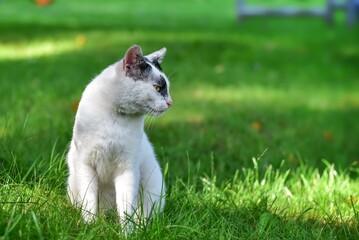 Fototapeta Wyrazista sylwetka białego kota siedzącego na trawie z pyszczkiem z profilu obraz
