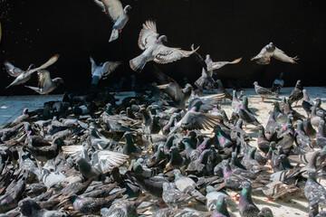 Fototapeta Loft of gray pigeons  on the ground on the street obraz