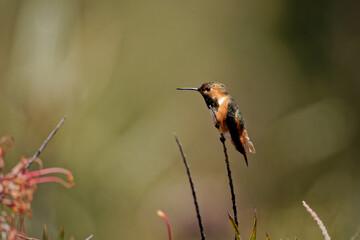 Fototapeta premium Shallow focus shot on a beautiful tiny hummingbird sitting on a bare branch.